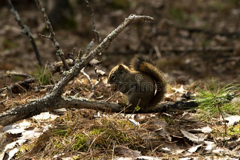 Squirrel munching on a snack royalty free stock image