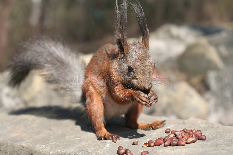 Download Squirrel in the nature stock image. Image of park, siberian - 2418015