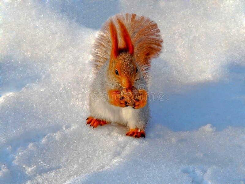 Eichhörnchen im Schnee lizenzfreie stockfotografie