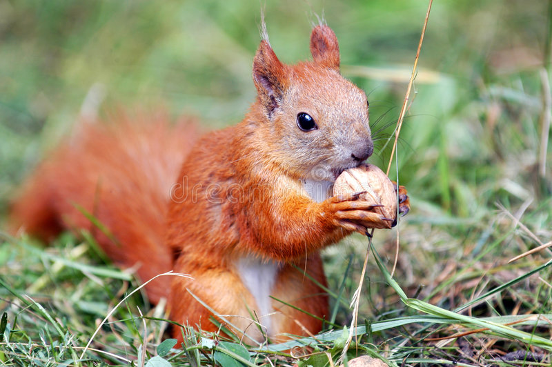 Squirrel with a nut. Squirrel eating a big nut stock photos