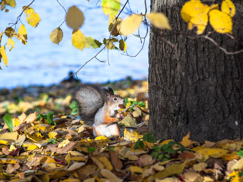 Squirrel with a nut in his teeth royalty free stock photo