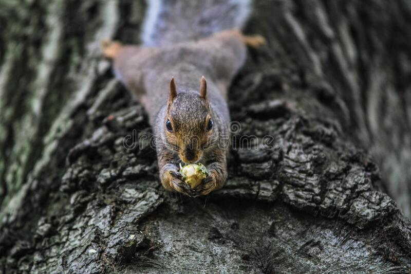 Squirrel with nut royalty free stock images