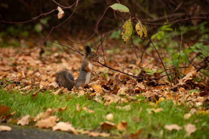 Squirrel with a nut. In the bushes, teeth, hold, tree, funny, autumn, animal, cute, fur, brown, mammal, wildlife, nature, outdoor, rodent, one, green, natural stock photography