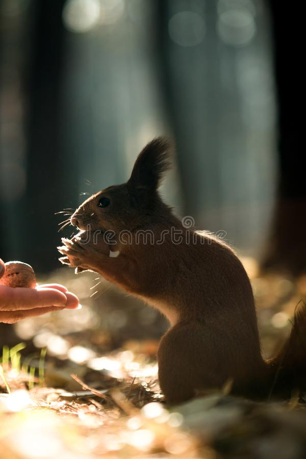 Squirrel and nuts, diet for protein, breakfast royalty free stock images