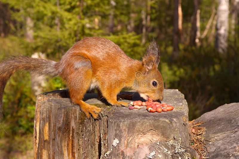 Squirrel With Nuts And Summer Forest On Background Royalty Free Stock Photo