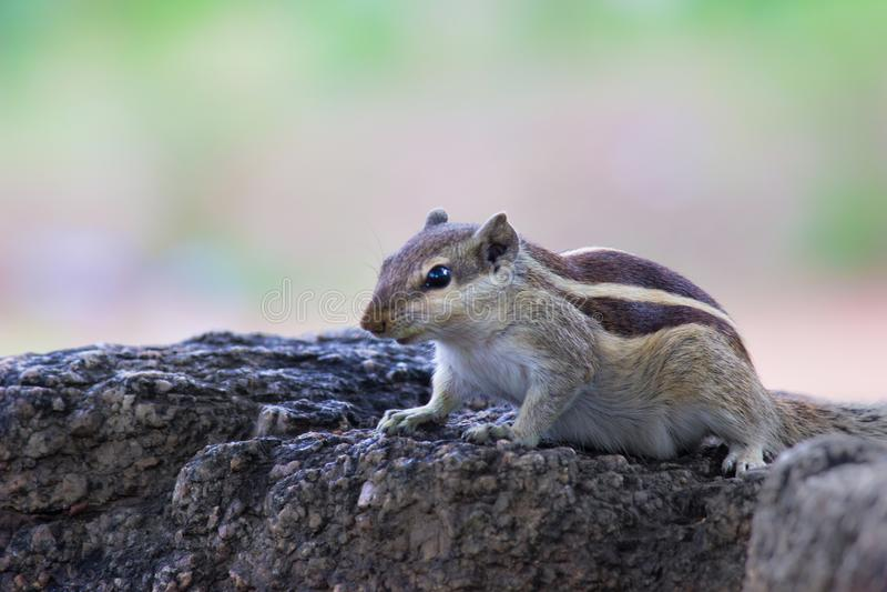 Squirrel o assento na rocha e a vista curiosamente fotografia de stock royalty free