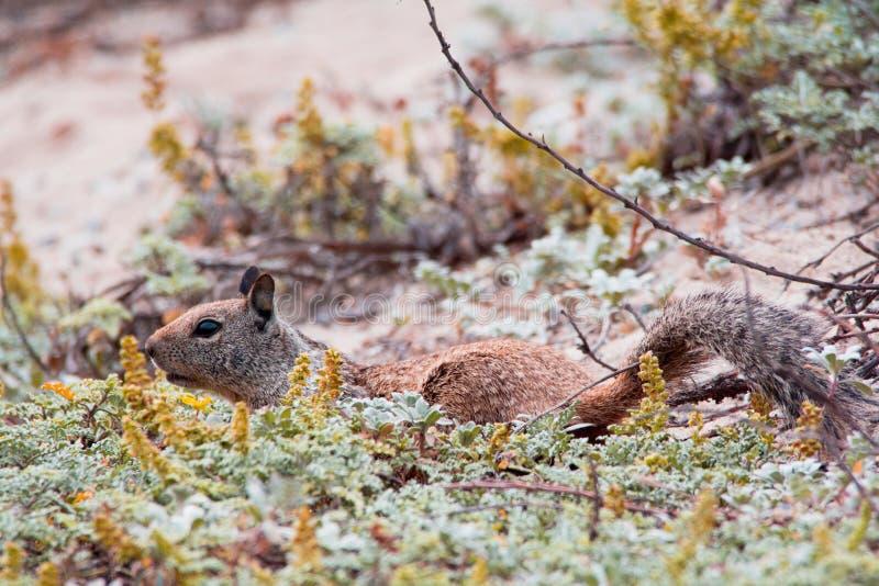 Squirrel o passeio na vegetação alta na região selvagem imagens de stock royalty free