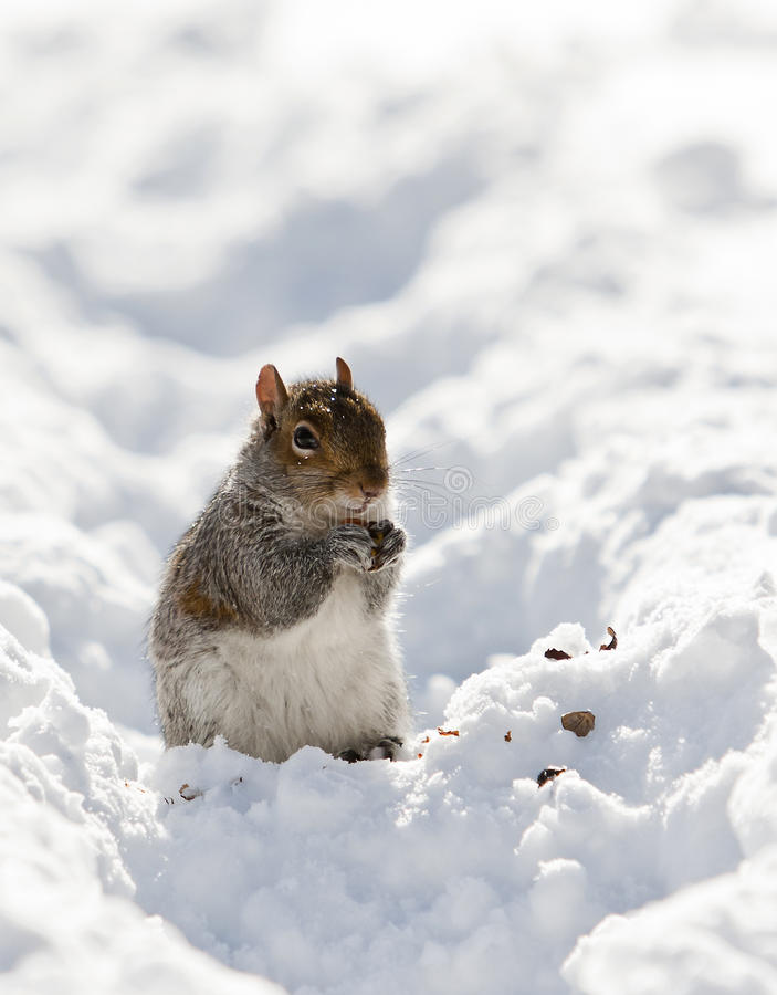 Free Squirrel On The Snow Stock Images - 18045044