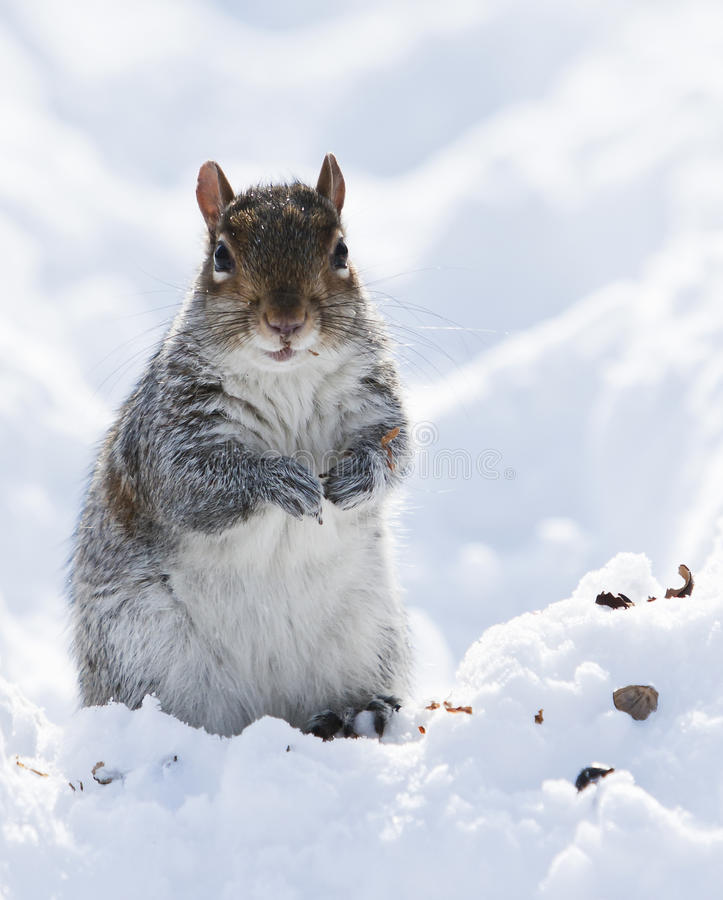 Free Squirrel On The Snow Royalty Free Stock Images - 18045049
