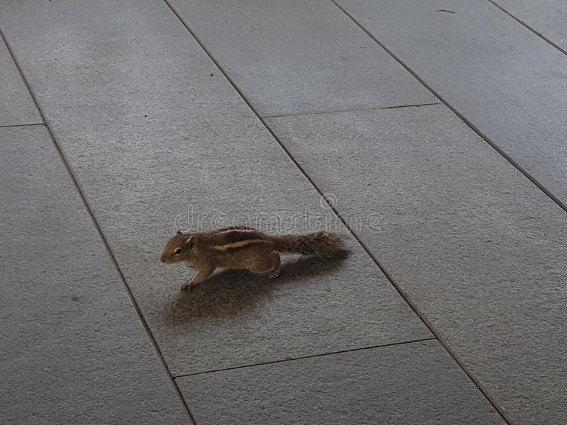 Squirrel in open air cafe on Leela Hotel Kovlam, Kerala royalty free stock photography
