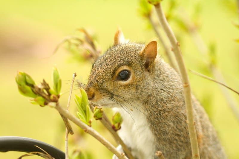 Squirrel os botões de cheiro do Lilac imagens de stock royalty free