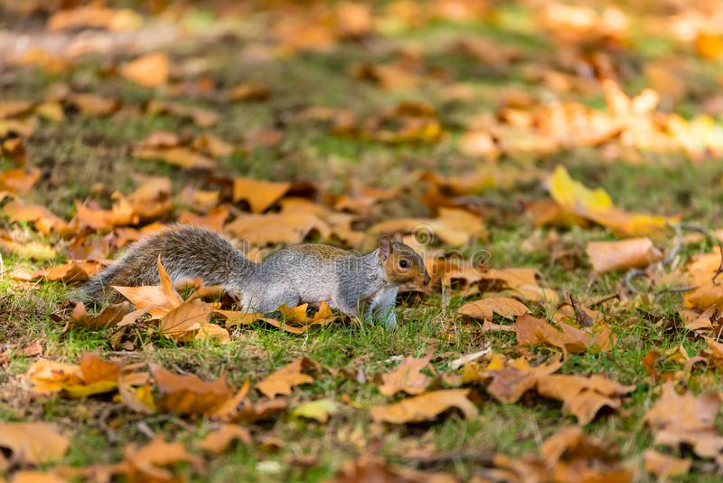 Squirrel in the park royalty free stock image