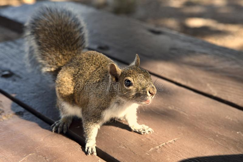 Squirrel in the Park begging for a peanut royalty free stock photo