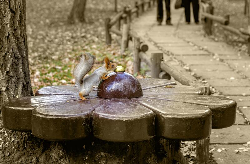 Squirrel in the park on a bench looking for nuts. Came down from the tree autumn stock images