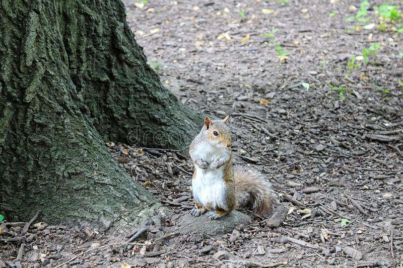 Squirrel in a park foraging for food stock image