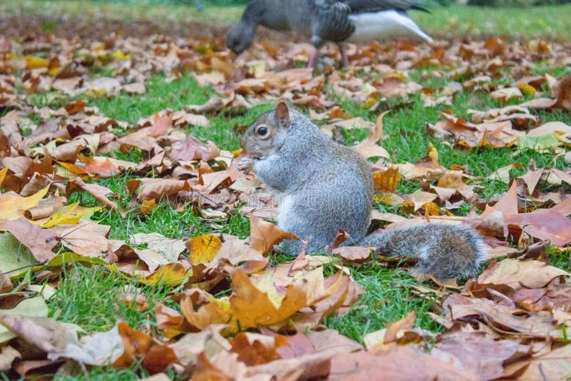Squirrel in park in london. Squirrel in the park in London, November 2015 stock photos