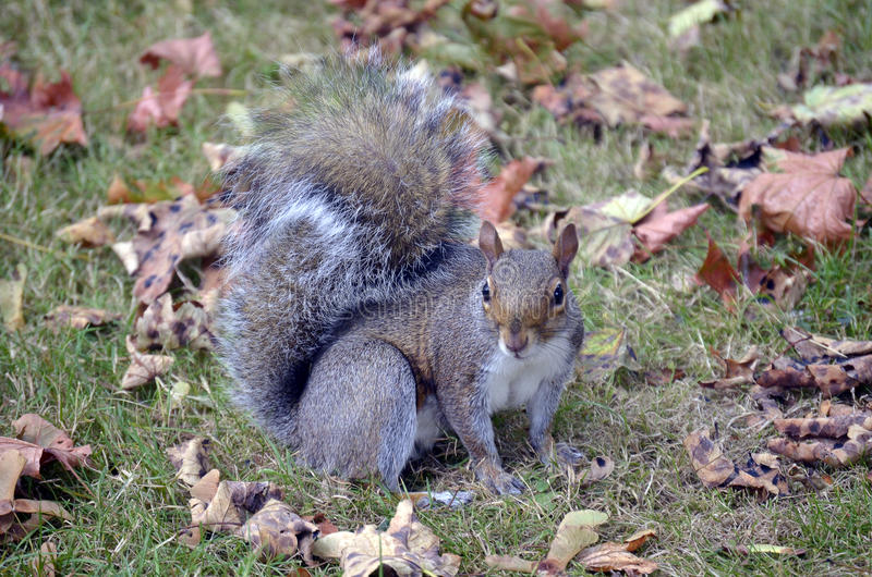Squirrel in autumn royalty free stock image