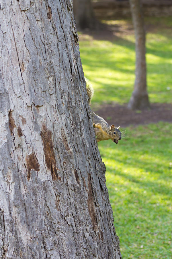 Squirrel with a pecan stock image