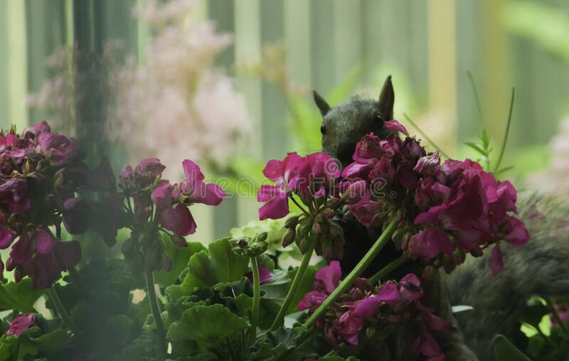 Squirrel Peeps Out From Behind The Geraniums stock image