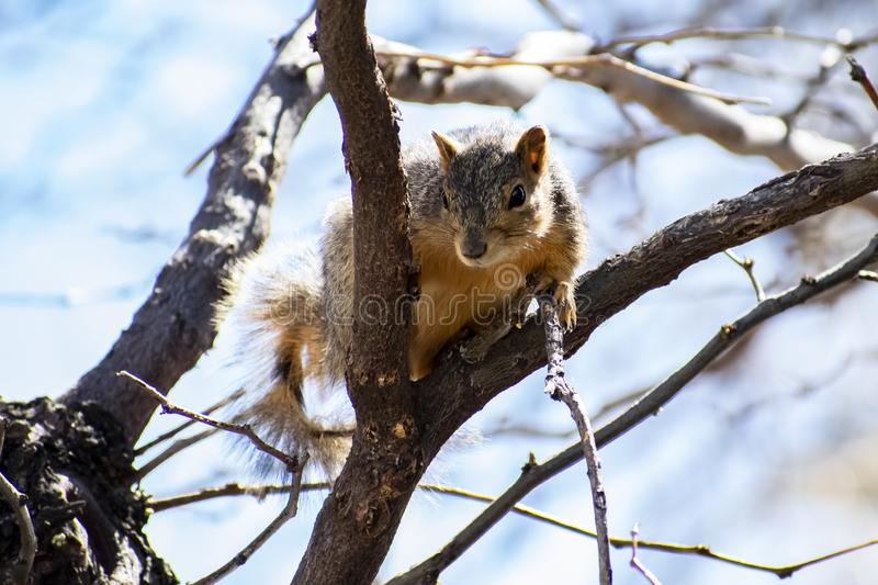 Squirrel Perched in Fork of Tree Branch. Image shows a squirrel perched in the fork of a tree branch. He had been out sunning himself and decided to take a break stock photography