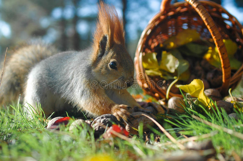 Squirrel picks the walnut