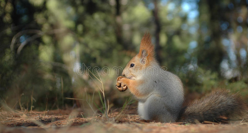 Download Squirrel picks the walnut stock photo. Image of leaves - 27669152