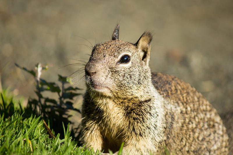 Download Squirrel stock image. Image of animal, view, california - 33071637