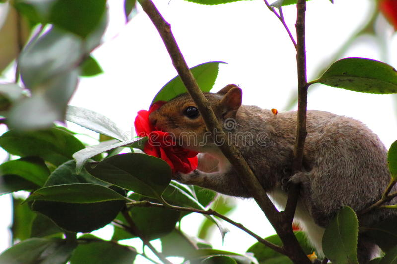 Squirrel. A picture of a squirrel eating a flower royalty free stock photo