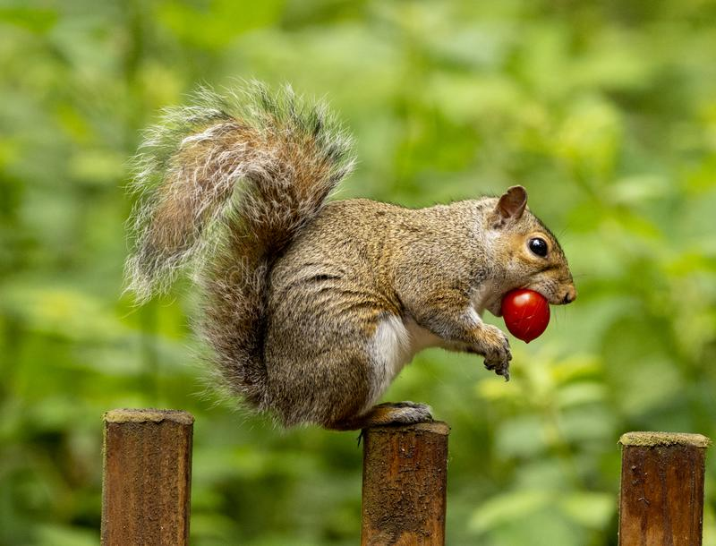 Squirrel pinching a tomato royalty free stock image