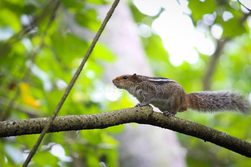 Squirrel pointing royalty free stock photography