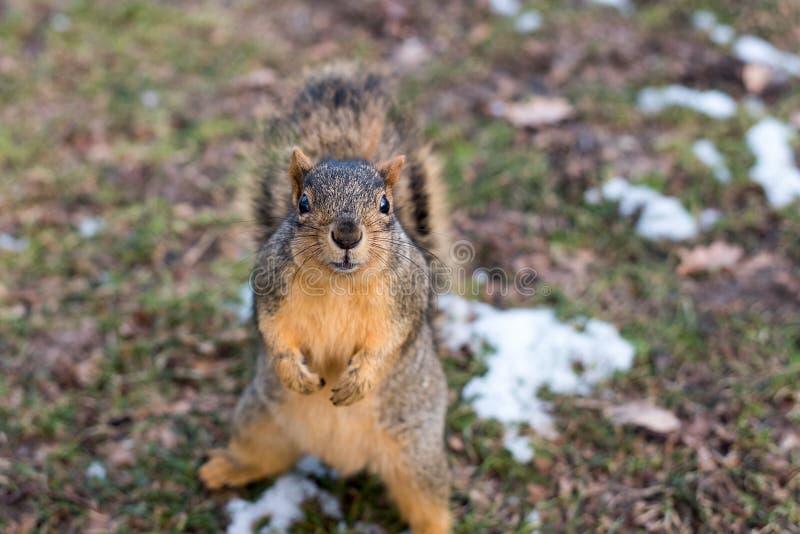 Squirrel Posing royalty free stock photo
