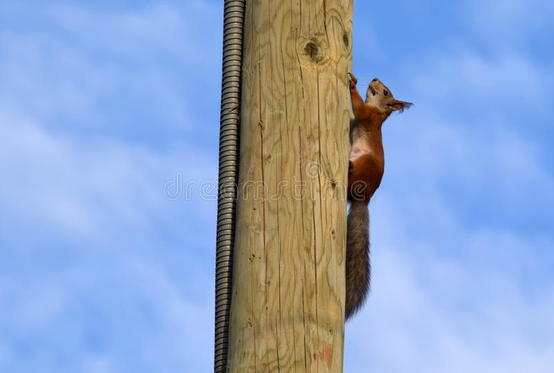 Squirrel on the post stock image