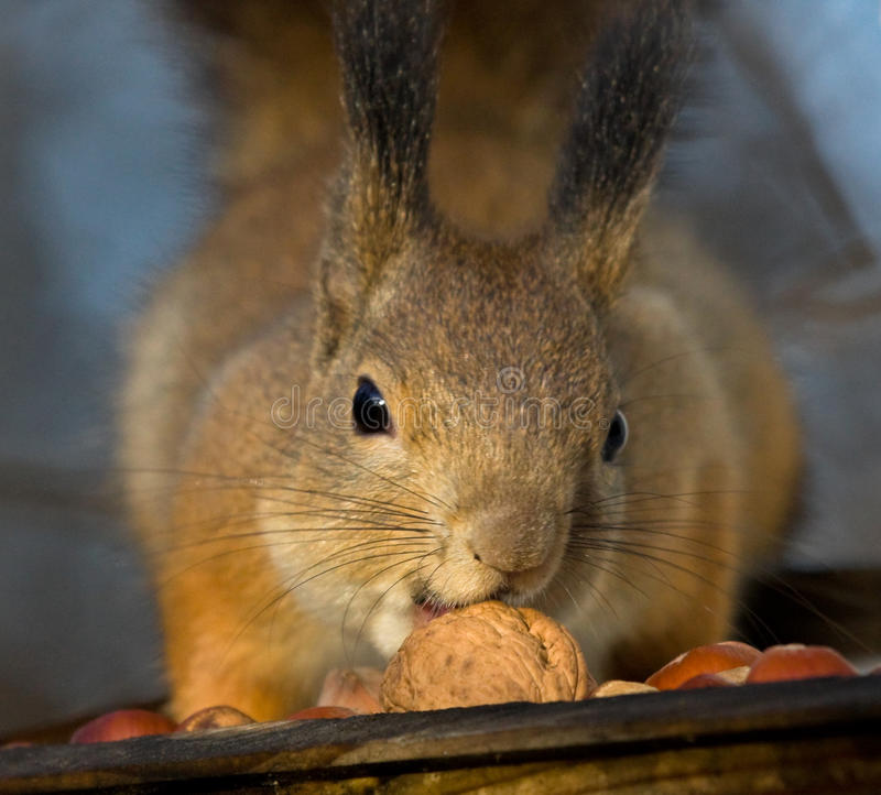 Download Squirrel Reaching For The Walnut Stock Image - Image: 22572635