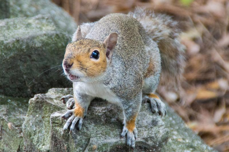 Squirrel Ready Eagerly Waiting For Food. Grey Squirrel Ready Eagerly Waiting For Food. Close up image royalty free stock image