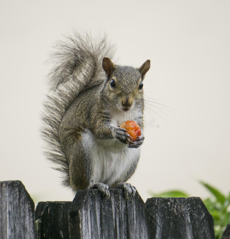 Squirrel with Red Berry. Grey-brown squirrel sitting on a dark grey wood grained fence while holding a red berry against a light grey background royalty free stock images