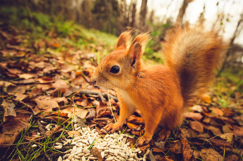 Squirrel red fur funny pets autumn forest on background. Wild nature animal thematic (Sciurus vulgaris, rodent royalty free stock images