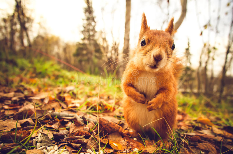 Squirrel red fur funny pets autumn forest on background. Wild nature animal thematic (Sciurus vulgaris, rodent royalty free stock photos