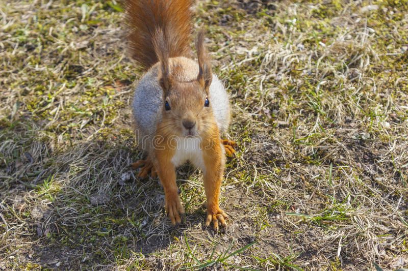 Squirrel red fur funny pets autumn forest on background wild nature animal thematic royalty free stock image