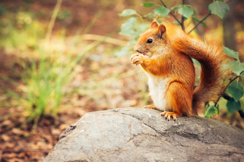Squirrel red fur with nuts. And summer forest on background wild nature animal thematic (Sciurus vulgaris, rodent stock photo