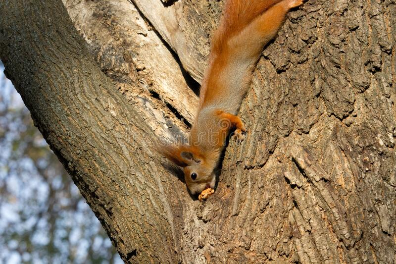 Squirrel red royalty free stock image
