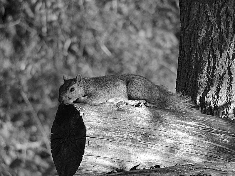 Squirrel relaxing royalty free stock photography