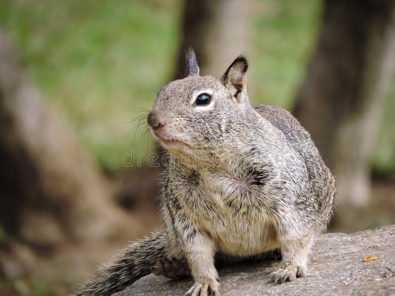 Squirrel Resting on a Rock stock images