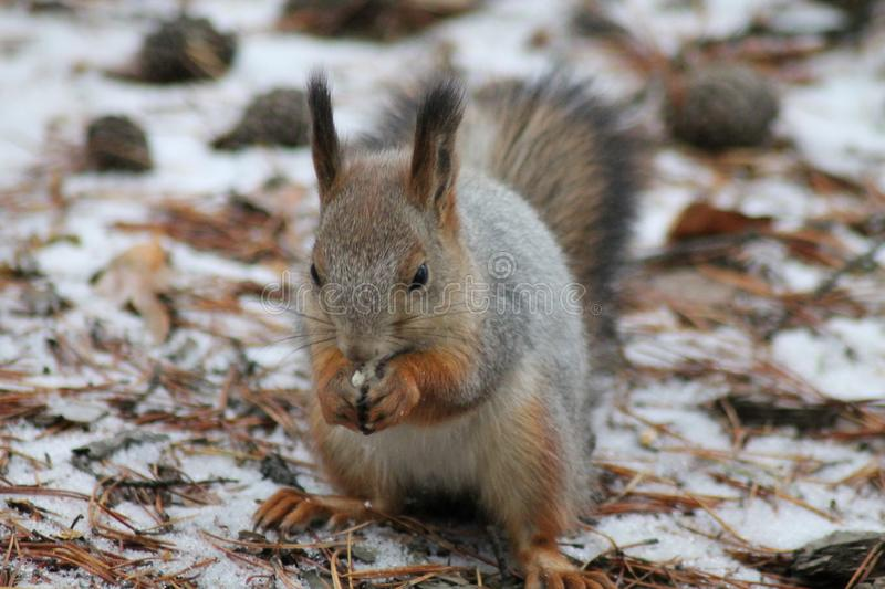 Squirrel-rodent of the squirrel family. The only representative of the genus protein in the fauna of Russia. In colloquial speech and literature is often royalty free stock photos