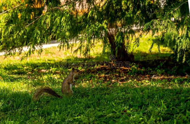 A squirrel running around the yard stock images