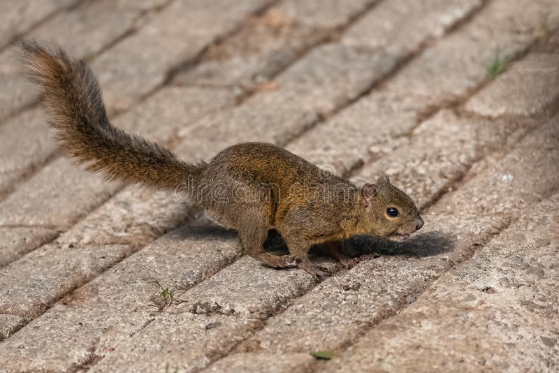 Squirrel running royalty free stock photography