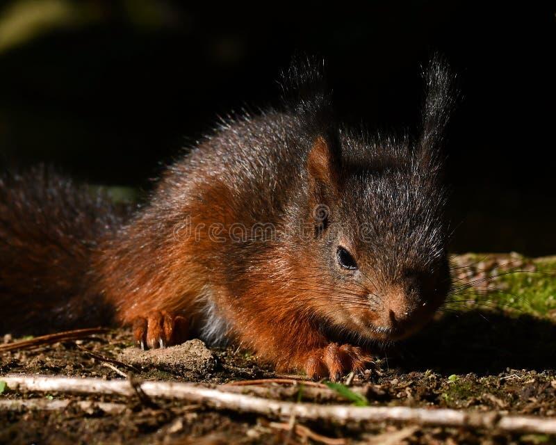 Squirrel, Sciurus vulgaris baby in close-up. In morning light stock image