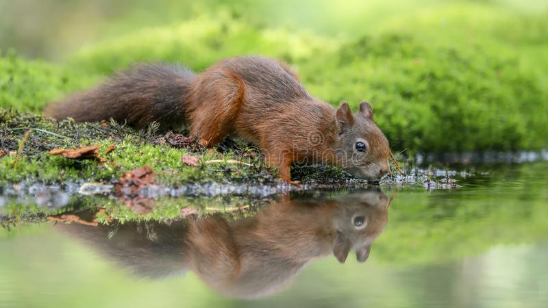 Eurasian red squirrel (Sciurus vulgaris) drinking water in a pool royalty free stock images