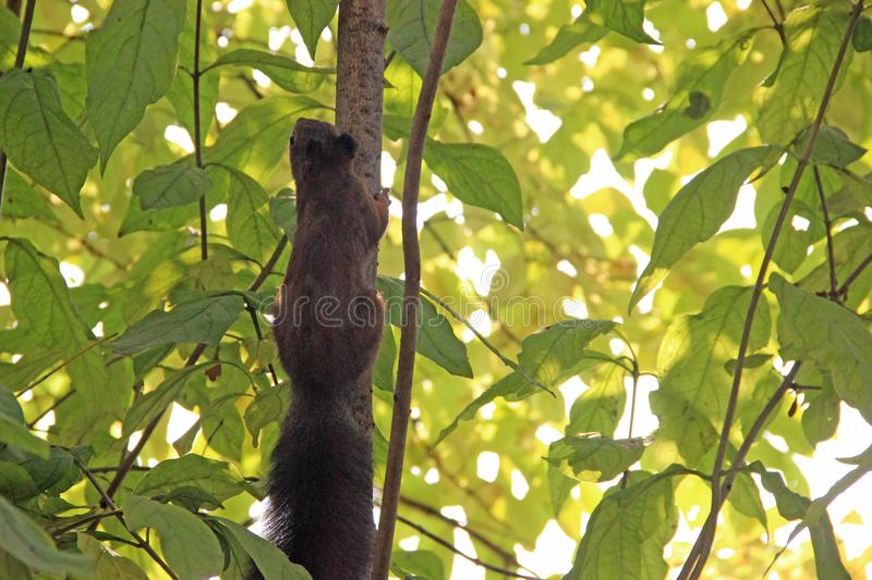 The squirrel scrambling up the tree royalty free stock image