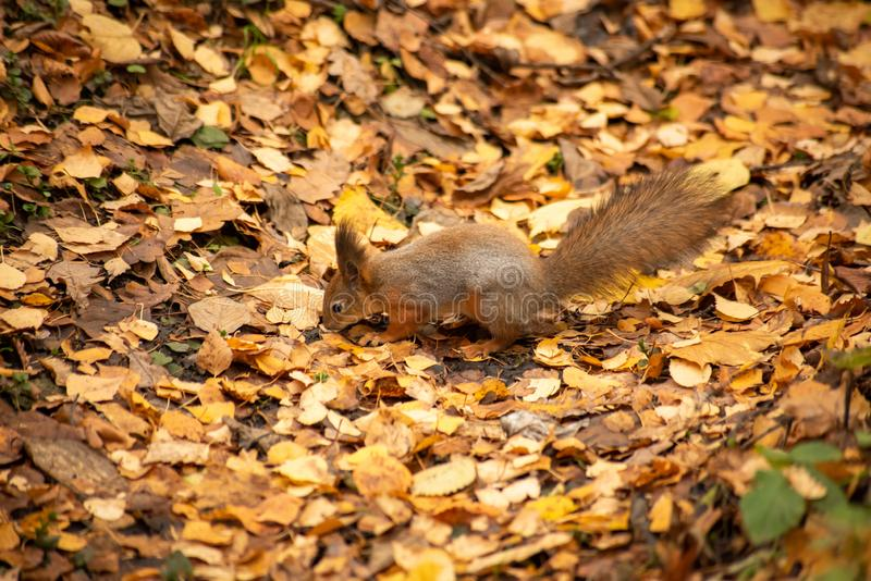 Squirrel searches in the yellow leaves. Is close, dig, autumn, animal, cute, fur, wildlife, nature, fall, outdoor, rodent, one, green, natural, closeup, ground royalty free stock photography