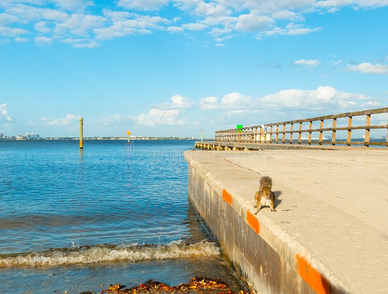 Squirrel by the shore in Vinoy Park. Florida, USA, animal, autumn, beauty, big, brown, cautious, closeup, cute, eating, fluffy, forest, fox, funny, fur, furry royalty free stock images